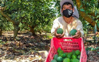 El 88% de productores de palta que certificaron sus campos pertenece a pequeños agricultores
