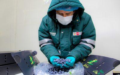 Arándanos: Perú iniciará exportación del berrie a Malasia